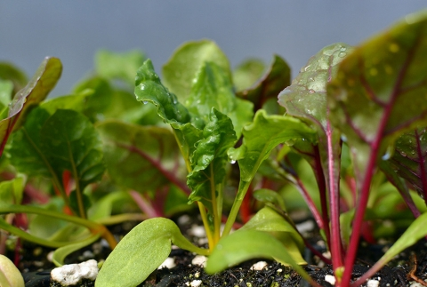 Ice Cap Organics Swiss Chard Seedlings